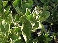 Starr 080603-9107 Solanum nelsonii.jpg