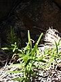 Starr 081014-0243 Schiedea haleakalensis.jpg