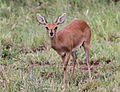 Steenbok, Raphicerus campestris - female - at Kruger Park (13900161934).jpg