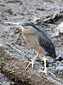 Striated Heron Butorides striata by Dr. Raju Kasambe DSCN9552 (1).jpg
