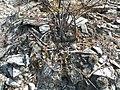 Strombocactus disciformis - Pena Blanca, Queretaro.jpg