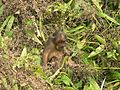 Stump tailed Macaque P1130751 07.jpg