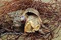Stumpfte Stachelschnecke-Hexaplex trunculus.jpg