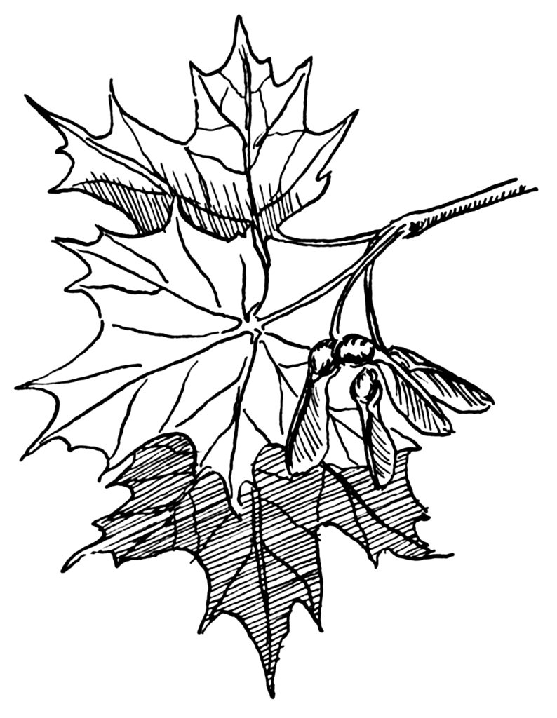 Free Coloring Pages Of Maple Tree