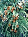 Sugi Flower Leaf.jpg
