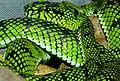 Sumatran Pit Viper (Trimeresurus sumatranus) (8741684078).jpg