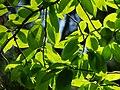 Sunlit leaves.jpg