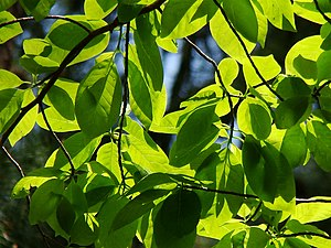 Sunlit leaves in spring with and without backlight