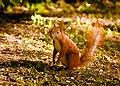 Sunny squirrel (18550827604).jpg