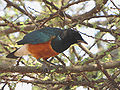 Superb Starling, Ngorongoro.jpg