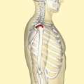 Supraspinatus muscle lateral.png
