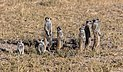 Suricatos (Suricata suricatta), parque nacional Makgadikgadi Pans, Botsuana, 2018-07-30, DD 16.jpg