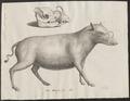 Sus babirussa - met schedel - 1700-1880 - Print - Iconographia Zoologica - Special Collections University of Amsterdam - UBA01 IZ21900199.tif