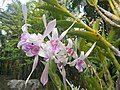 Suvarnabhumi Orchids Farm ... (27447081975).jpg