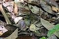 Swainson's Warbler Hooks Wood High Island TX 2018-04-11 09-55-35 (41092364214).jpg