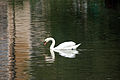 Swan On Kew Gardens Lake (3997571603).jpg