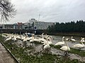 Swans by the River Taff, Grangetown, March 2019.jpg