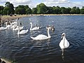 Swans on the Round Pond - geograph.org.uk - 1494790.jpg
