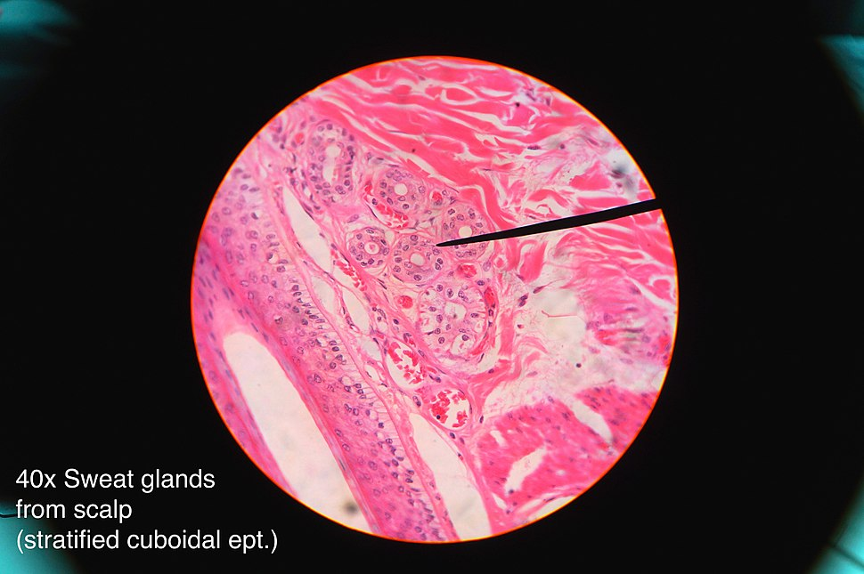 Sweat gland histology 2014