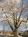 Sycamore Tree in Bethel, CT - January 5, 2011.jpg