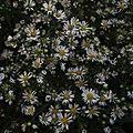 Symphyotrichum ericoides inflorescences.jpg