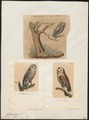 Syrnium aluco - 1700-1880 - Print - Iconographia Zoologica - Special Collections University of Amsterdam - UBA01 IZ18400147.tif
