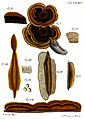 Tab76-Agaricus hirsutus Schaeff.jpg