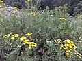 Tanacetum vulgare Viote 02.jpg