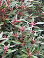 Tasmannia lanceolata (12994683473).jpg
