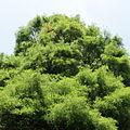 Taxodium distichum-IMG 5782.jpg