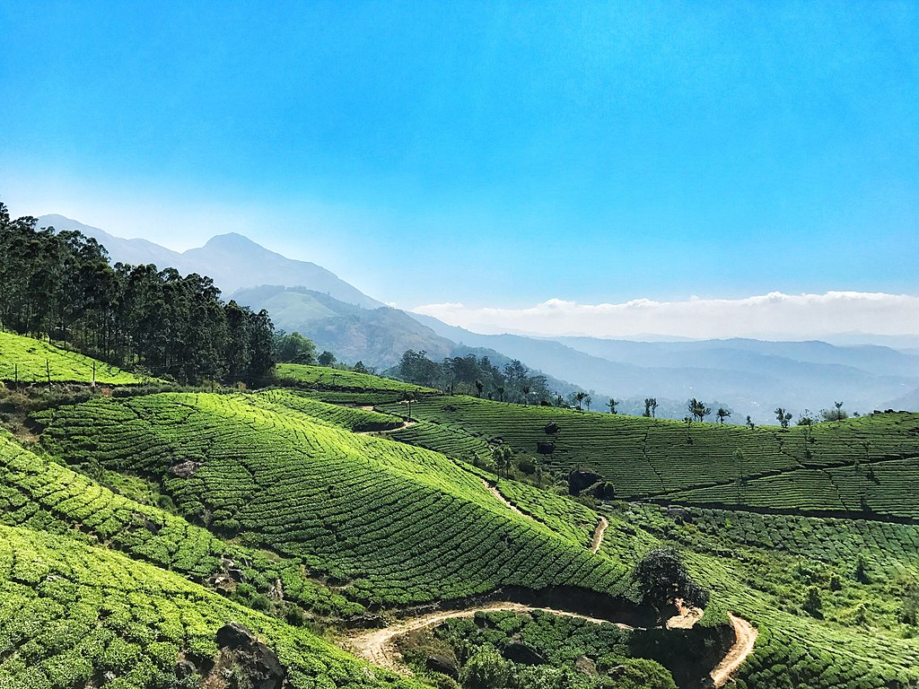 Tea Fields Of Munnar in Kerala