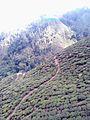 Tea garden from ropeway.jpg