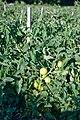 Teasing Tomatoes (4758336827).jpg