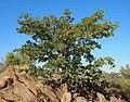 Terminalia hadleyana subsp. carpentariae habitus.jpg
