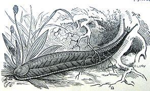 Graugelbe Rucksackschnecke (Testacella haliotidea Draparnaud, 1801)