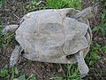 Testudo graeca female with healed carapax 4.jpg
