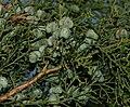 Tetraclinis articulata - unripe cones - Flickr - S. Rae.jpg