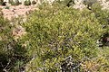Tetraclinis articulata kz08 Morocco.jpg