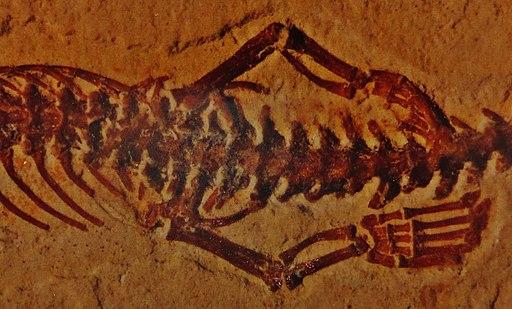 Tetrapodophis hindlimbs