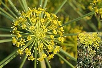 Thapsia (plant) - Image: Thapsia villosa 06052010