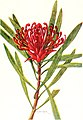 The Australian flora in applied art (1915) (14761524786).jpg