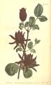 The Botanical Magazine, Plate 503 (Volume 14, 1800).png