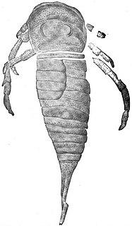 <i>Drepanopterus</i>