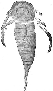 The Eurypterida of New York figure 69.jpg