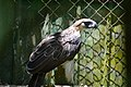 The Philippine Eagle (9103367801).jpg
