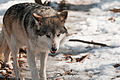The Wolf That Cried Boy (4377025204).jpg