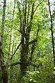 The big maple (9477380143).jpg