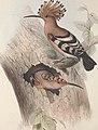 The birds of Europe (1837) (14729014766).jpg