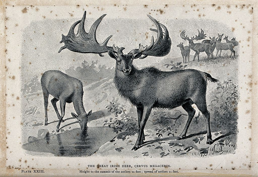 filethe male and female irish elk cervus megaceros now