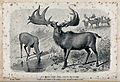 The male and female Irish elk (Cervus megaceros), now extinc Wellcome V0021533.jpg